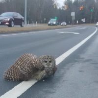 Barred Owl Rescued After Run-In With Car